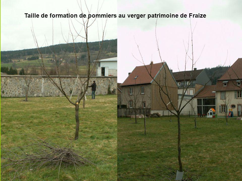 Taille de formation de pommiers au verger patrimoine de Fraize
