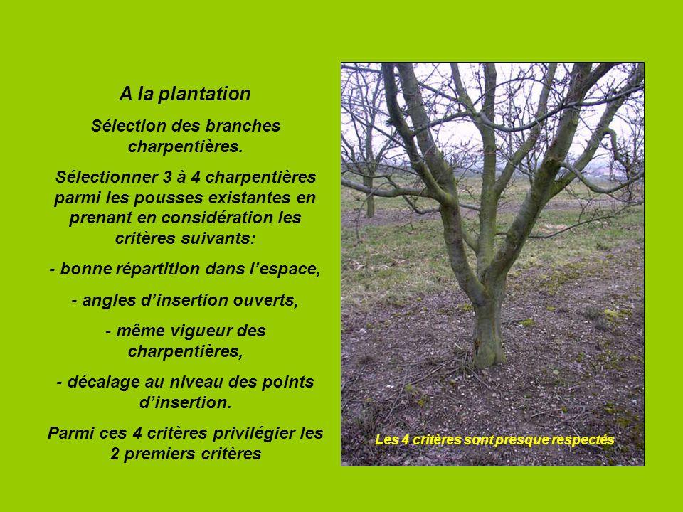 A la plantation Sélection des branches charpentières.