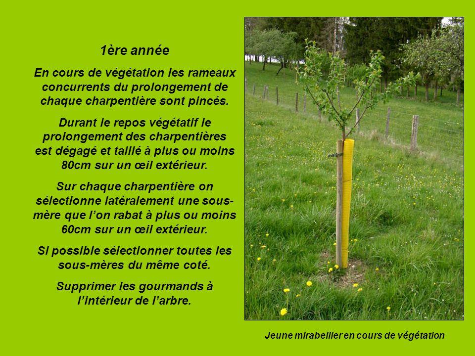 1ère année En cours de végétation les rameaux concurrents du prolongement de chaque charpentière sont pincés.