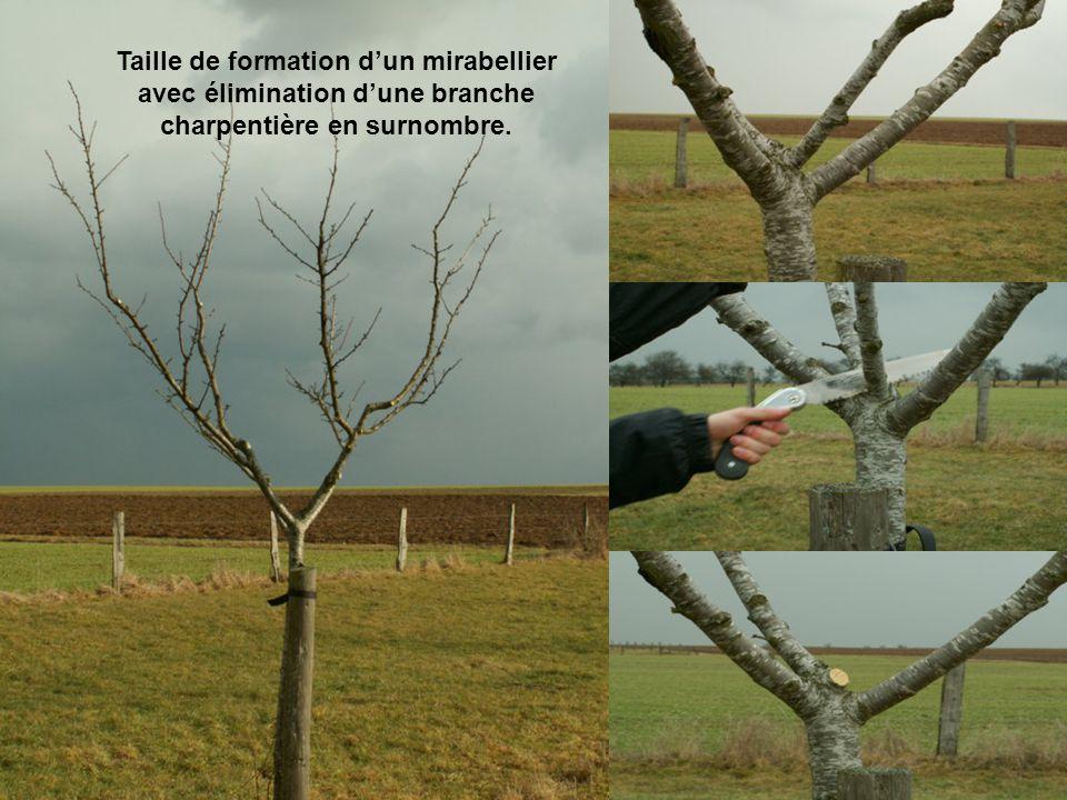 Taille de formation d'un mirabellier avec élimination d'une branche charpentière en surnombre.