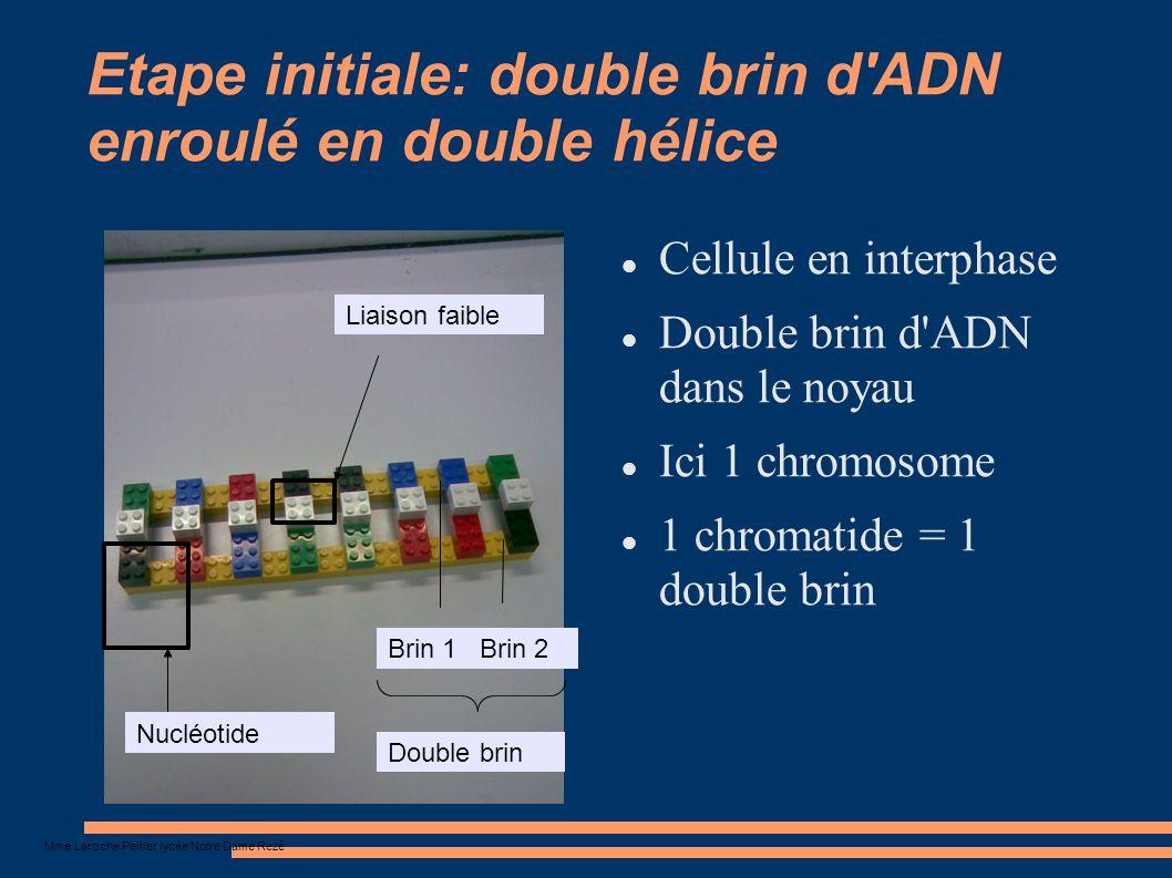Etape initiale: double brin d ADN enroulé en double hélice