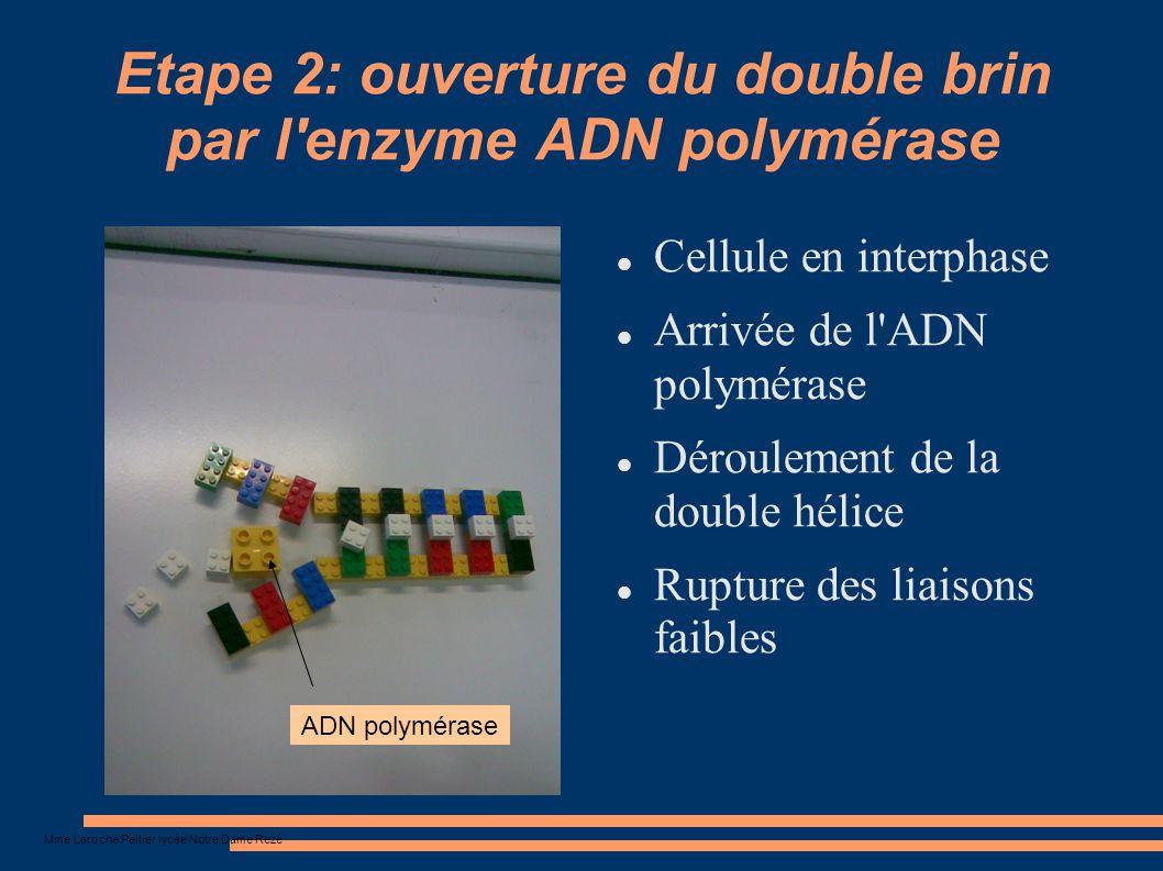 Etape 2: ouverture du double brin par l enzyme ADN polymérase
