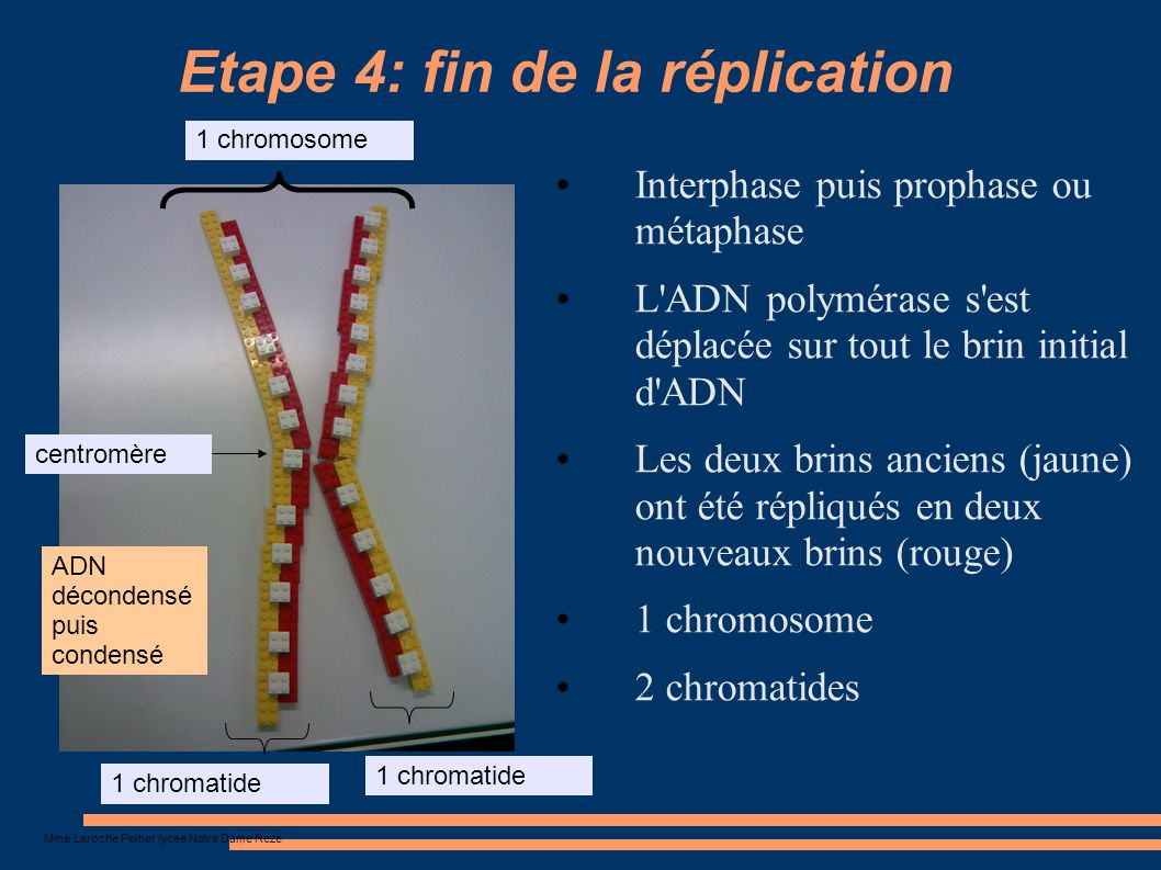 Etape 4: fin de la réplication