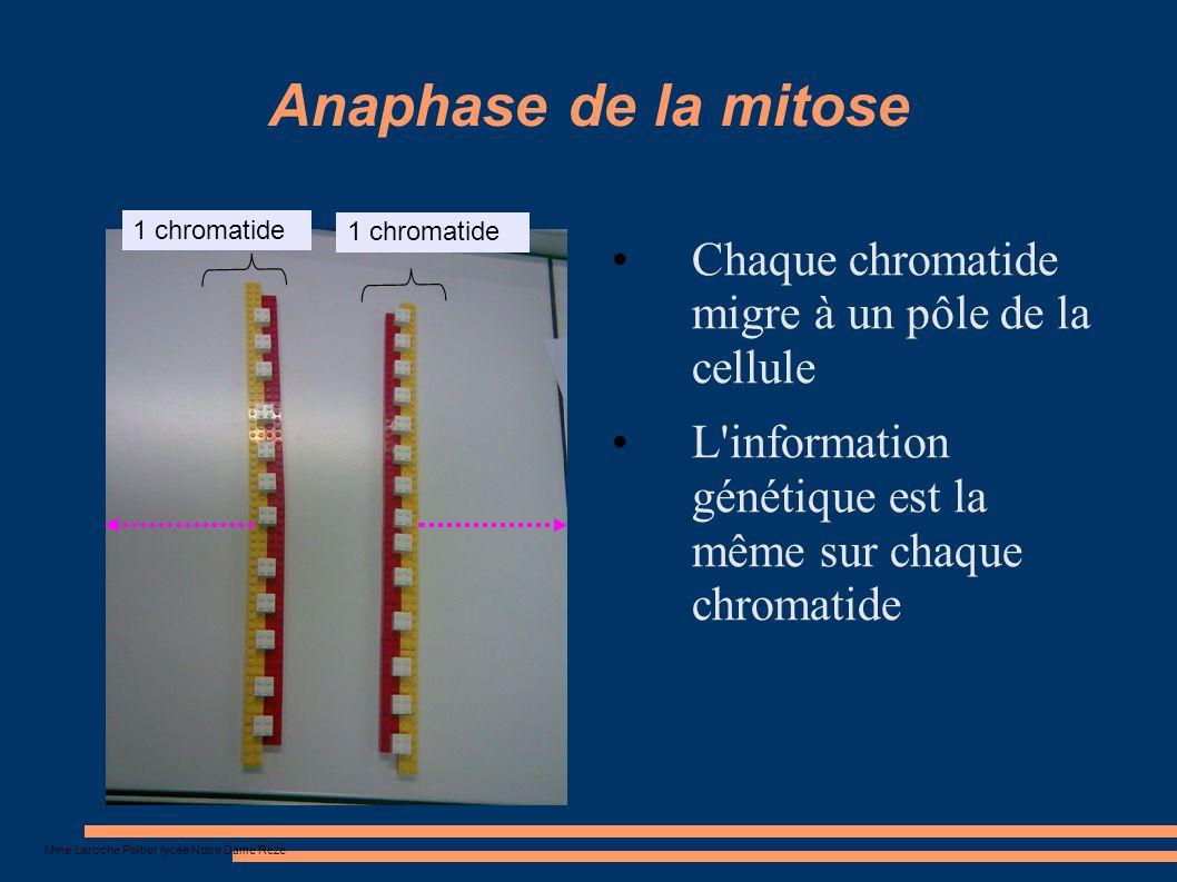 Anaphase de la mitose Chaque chromatide migre à un pôle de la cellule