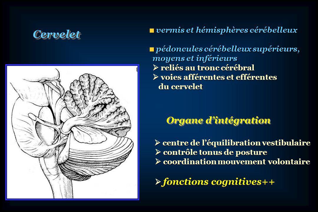 Cervelet Organe d'intégration vermis et hémisphères cérébelleux