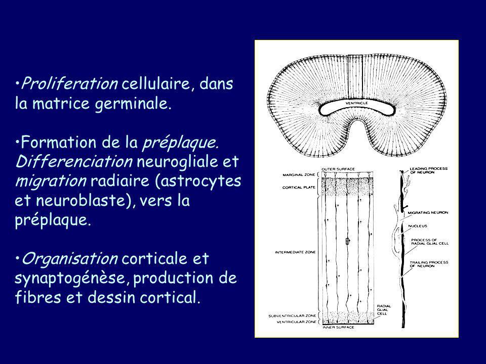 Proliferation cellulaire, dans la matrice germinale.