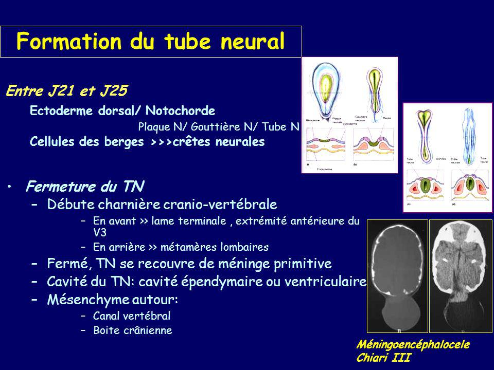 Formation du tube neural