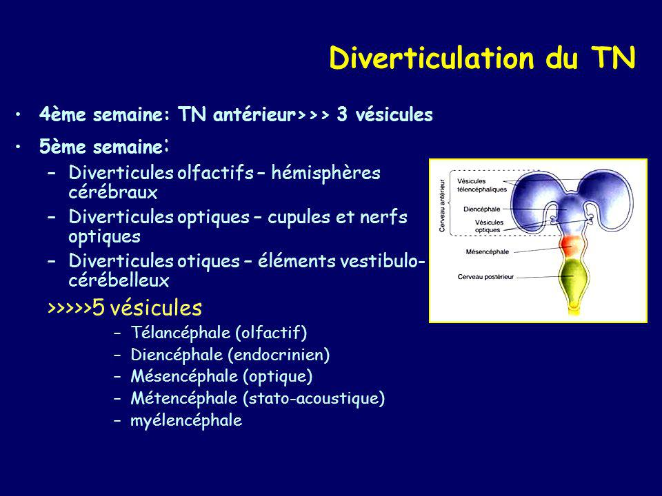Diverticulation du TN >>>>>5 vésicules
