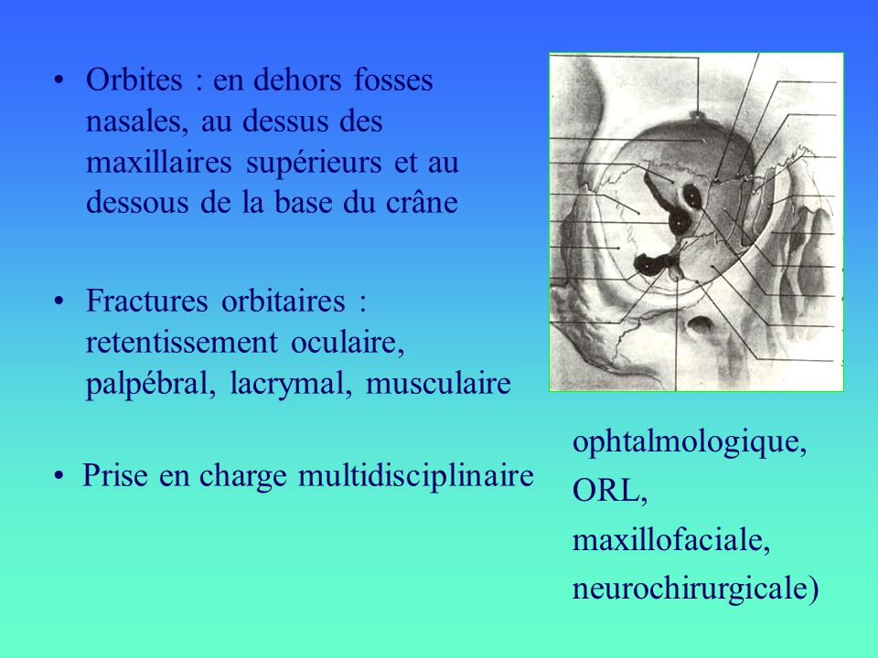 Orbites : en dehors fosses nasales, au dessus des maxillaires supérieurs et au dessous de la base du crâne
