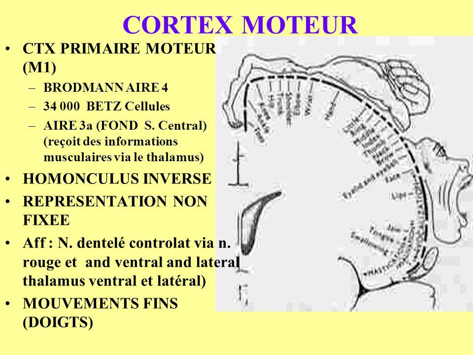 CORTEX MOTEUR CTX PRIMAIRE MOTEUR (M1) HOMONCULUS INVERSE