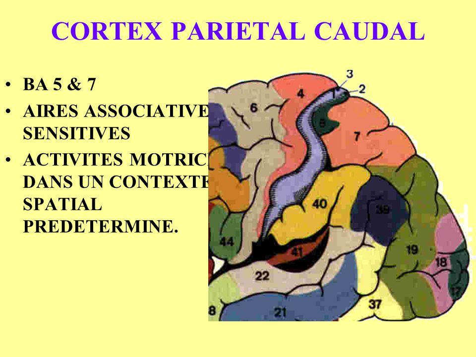 CORTEX PARIETAL CAUDAL