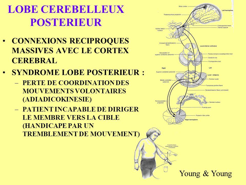 LOBE CEREBELLEUX POSTERIEUR