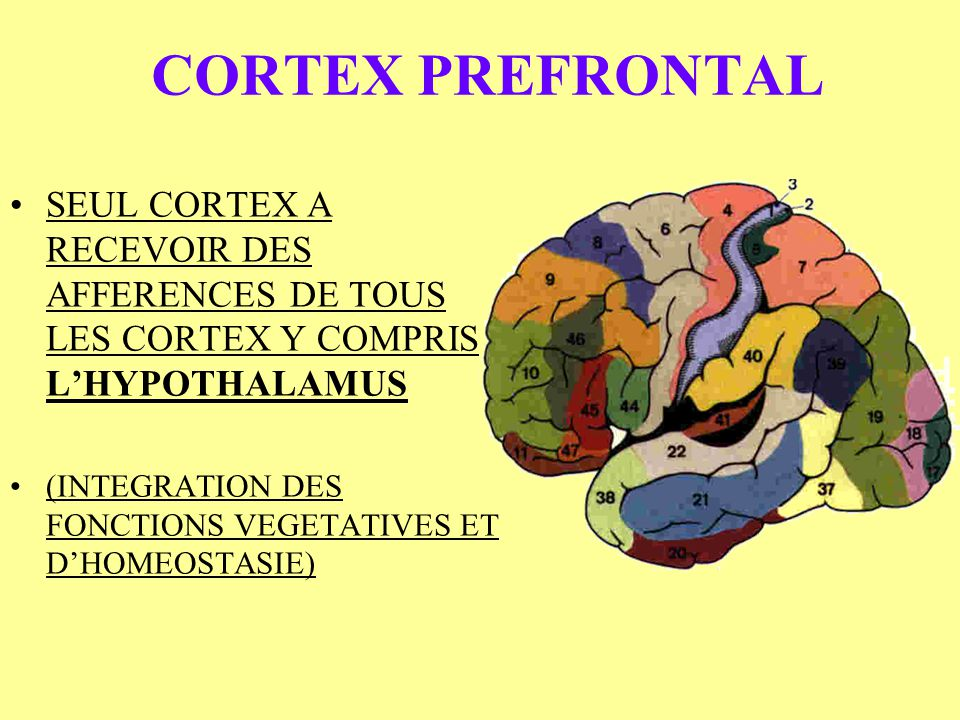 CORTEX PREFRONTAL SEUL CORTEX A RECEVOIR DES AFFERENCES DE TOUS LES CORTEX Y COMPRIS L'HYPOTHALAMUS.