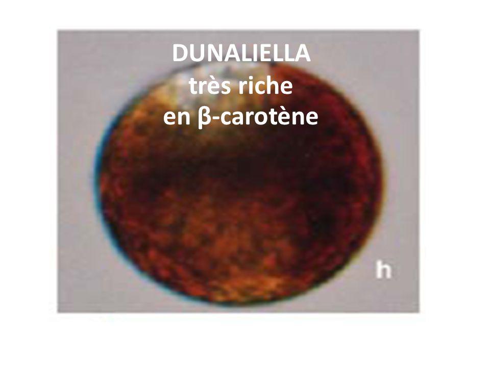 DUNALIELLA très riche en β-carotène