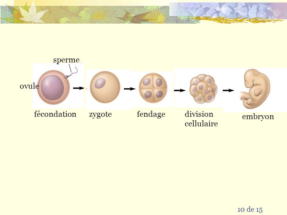 sperme ovule fécondation zygote fendage division cellulaire embryon
