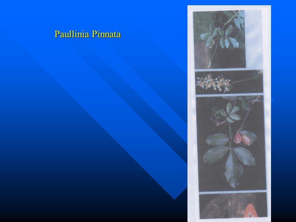 Paullinia Pinnata