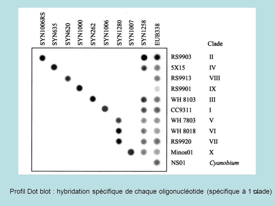 Profil Dot blot : hybridation spécifique de chaque oligonucléotide (spécifique à 1 clade)