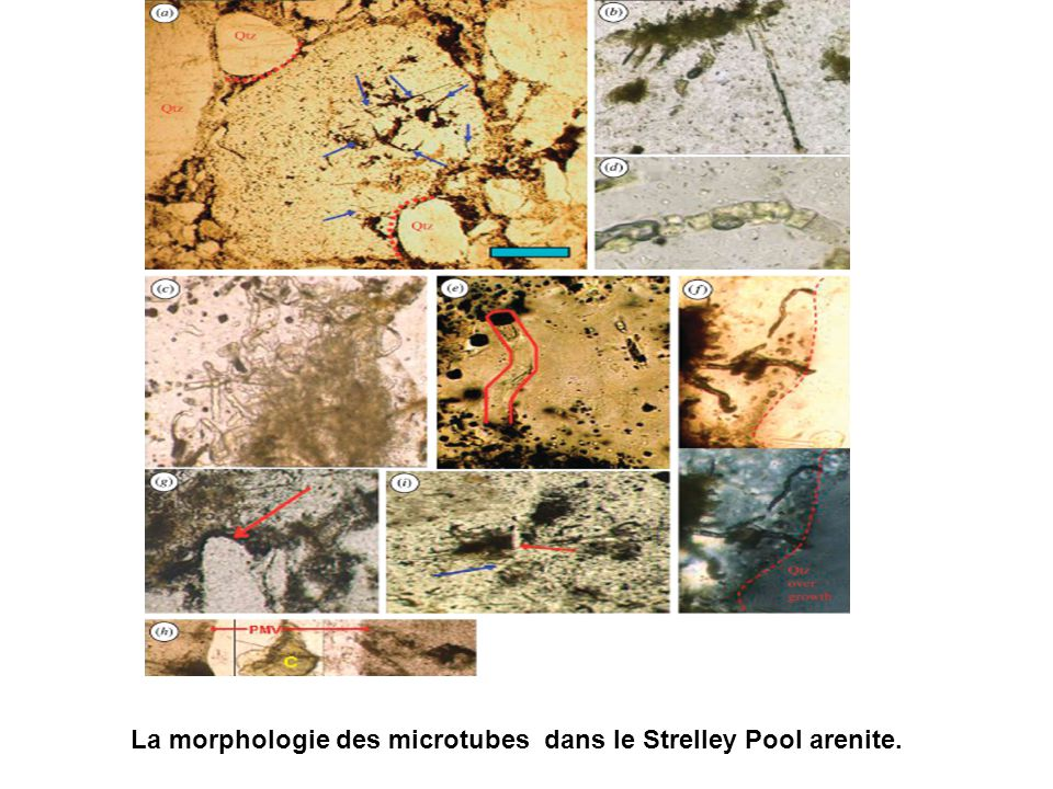 La morphologie des microtubes dans le Strelley Pool arenite.