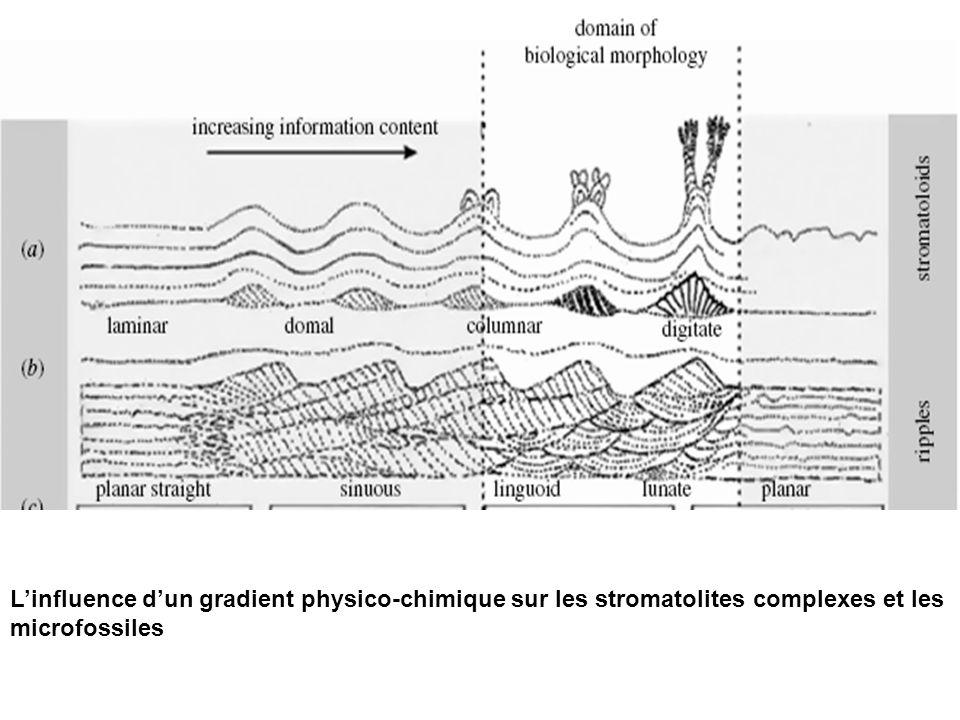 L'influence d'un gradient physico-chimique sur les stromatolites complexes et les microfossiles