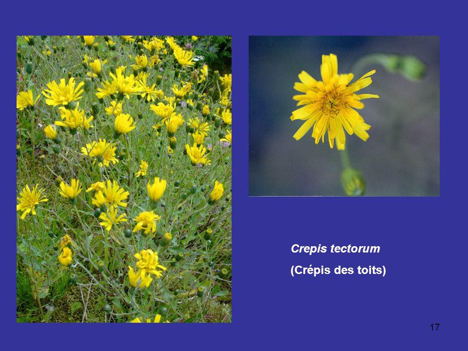 Crepis tectorum (Crépis des toits)