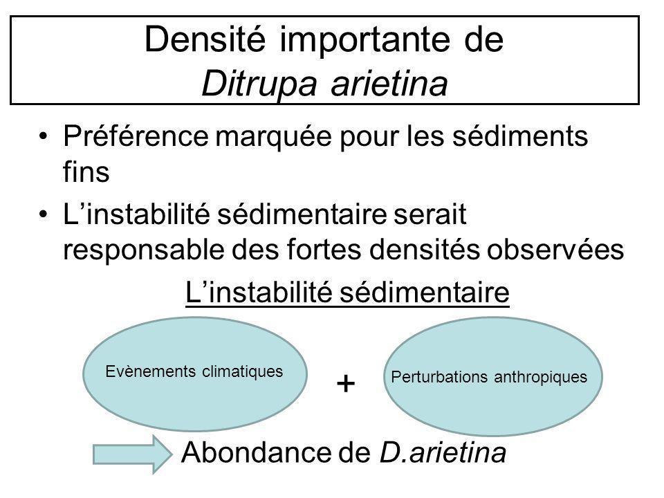 Densité importante de Ditrupa arietina