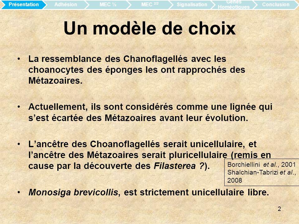 Présentation Adhésion. MEC ½. MEC 2/2. Signalisation. Gènes Homéotiques. Conclusion. Un modèle de choix.