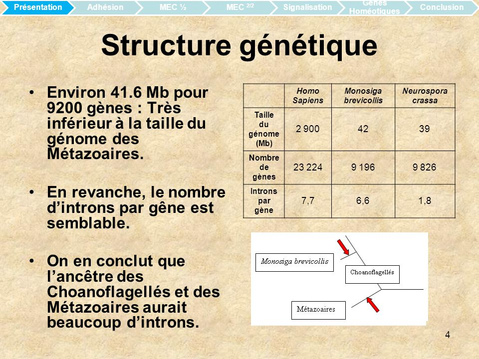 Présentation Adhésion. MEC ½. MEC 2/2. Signalisation. Gènes Homéotiques. Conclusion. Structure génétique.
