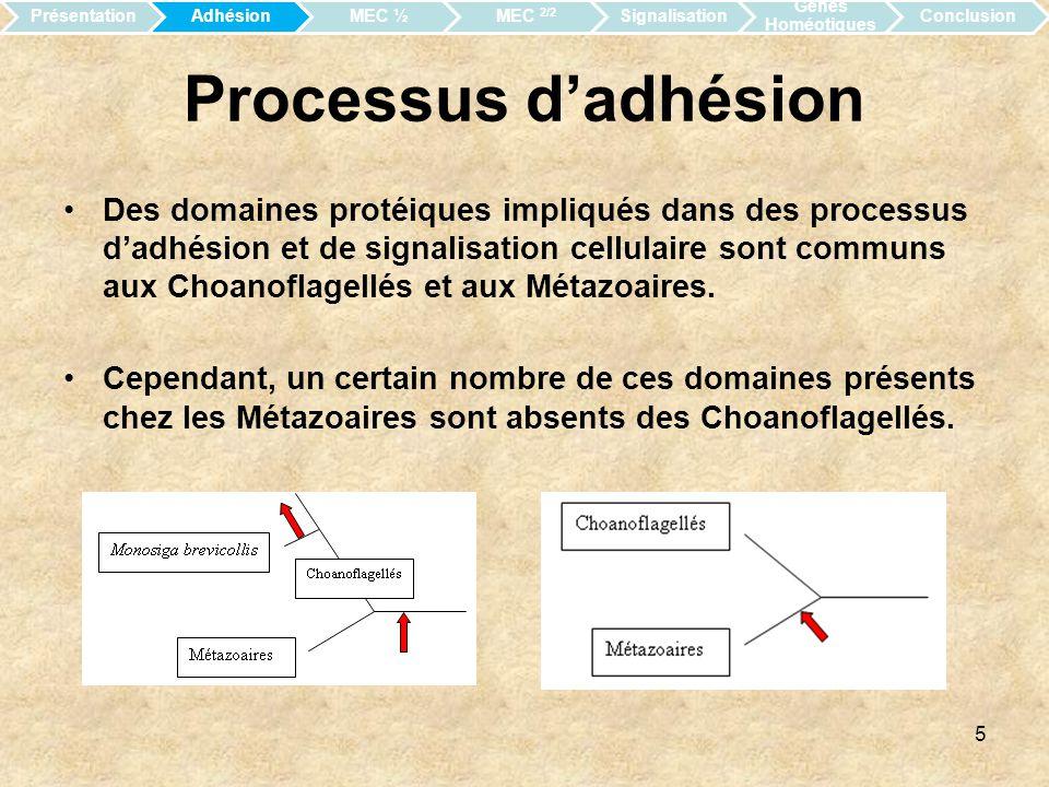 Présentation Adhésion. MEC ½. MEC 2/2. Signalisation. Gènes Homéotiques. Conclusion. Processus d'adhésion.