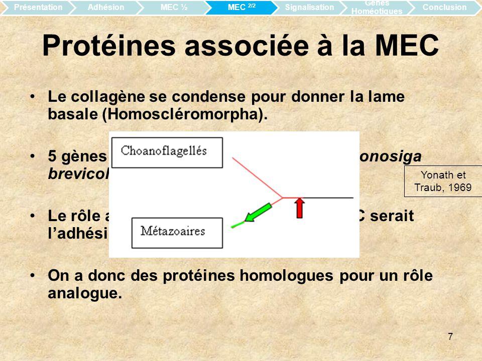 Protéines associée à la MEC