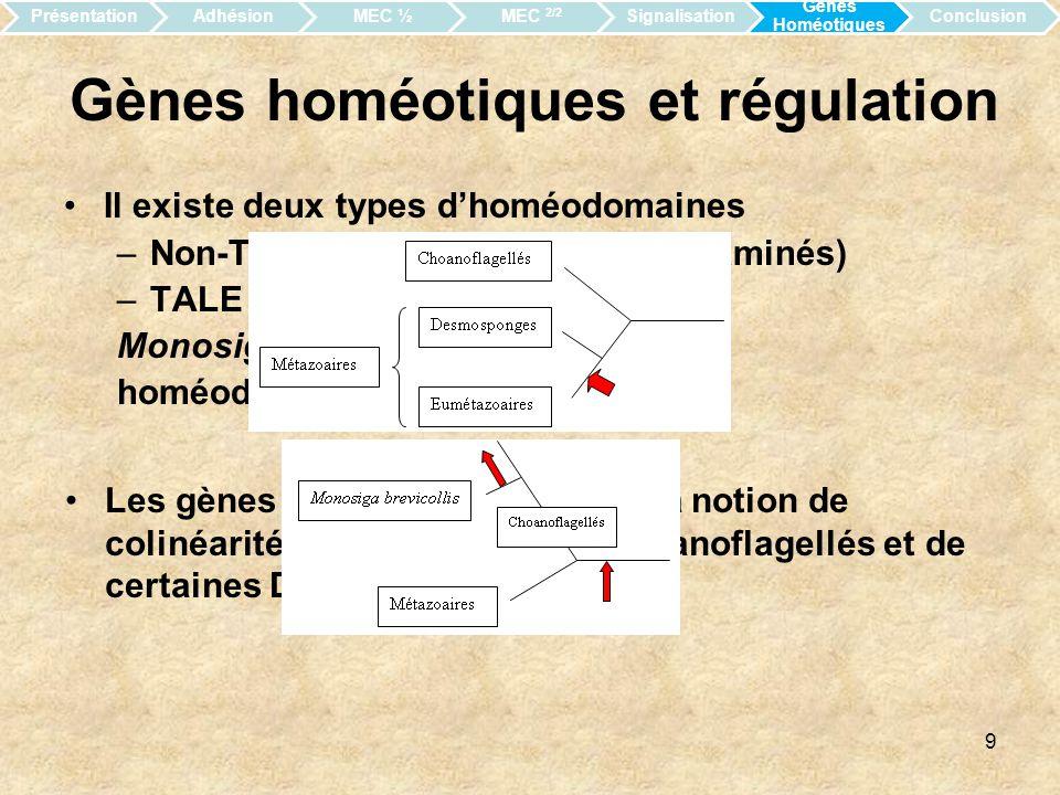 Gènes homéotiques et régulation