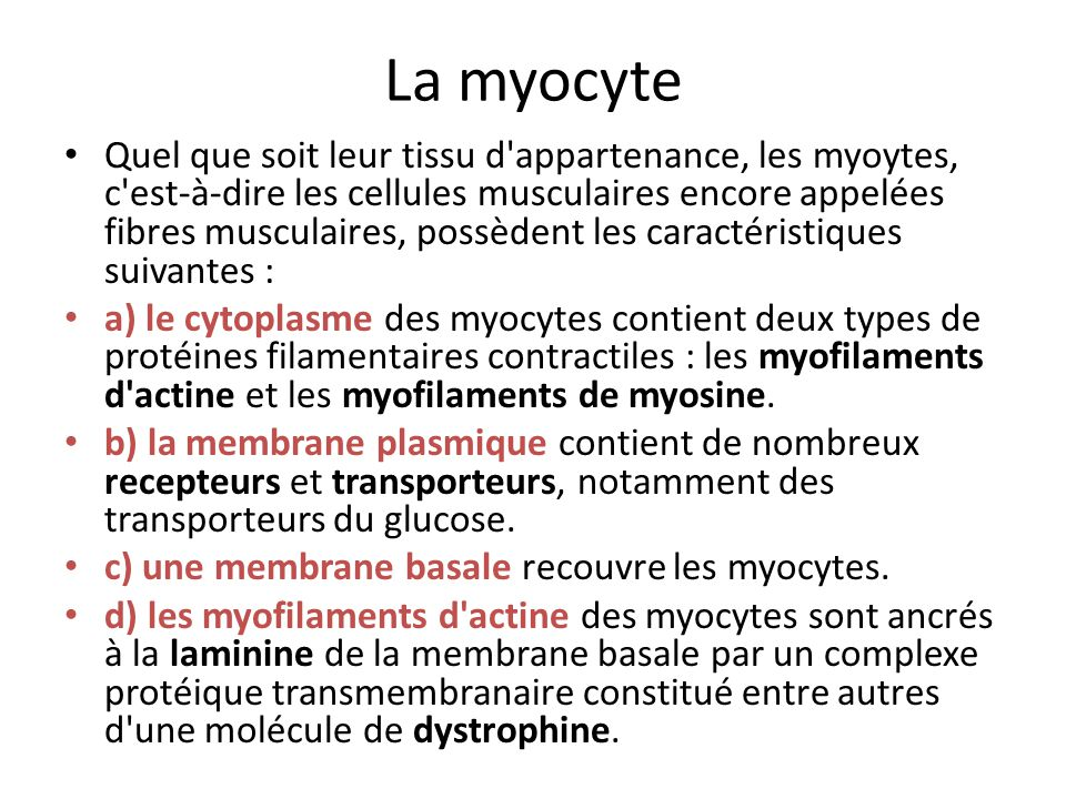 La myocyte