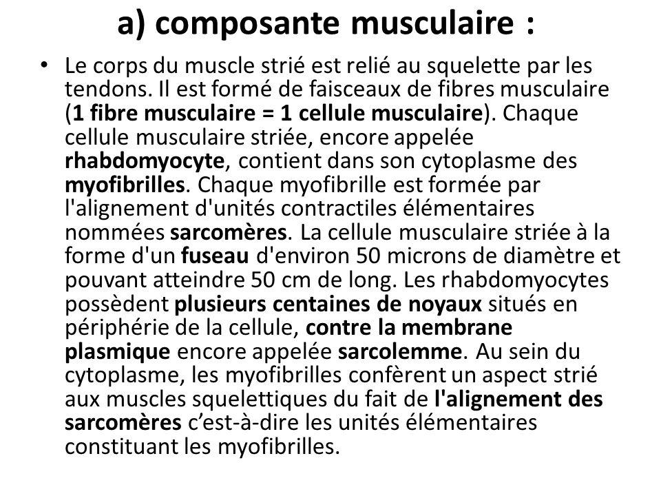 a) composante musculaire :