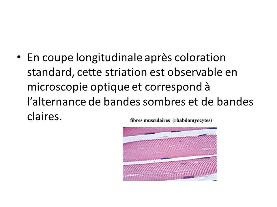 En coupe longitudinale après coloration standard, cette striation est observable en microscopie optique et correspond à l'alternance de bandes sombres et de bandes claires.