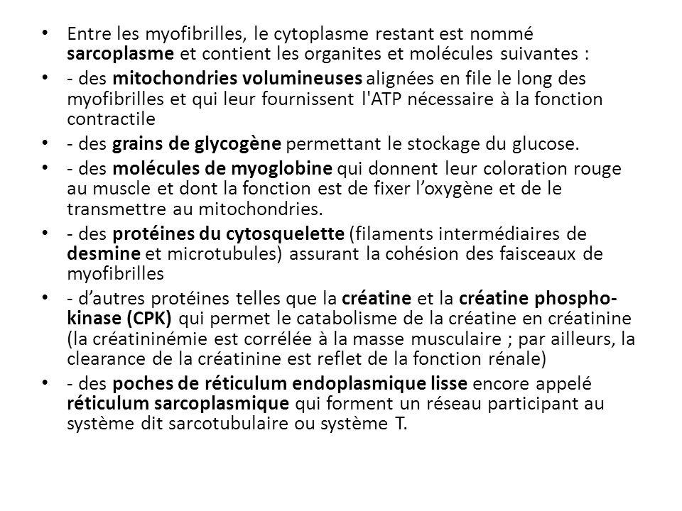 Entre les myofibrilles, le cytoplasme restant est nommé sarcoplasme et contient les organites et molécules suivantes :
