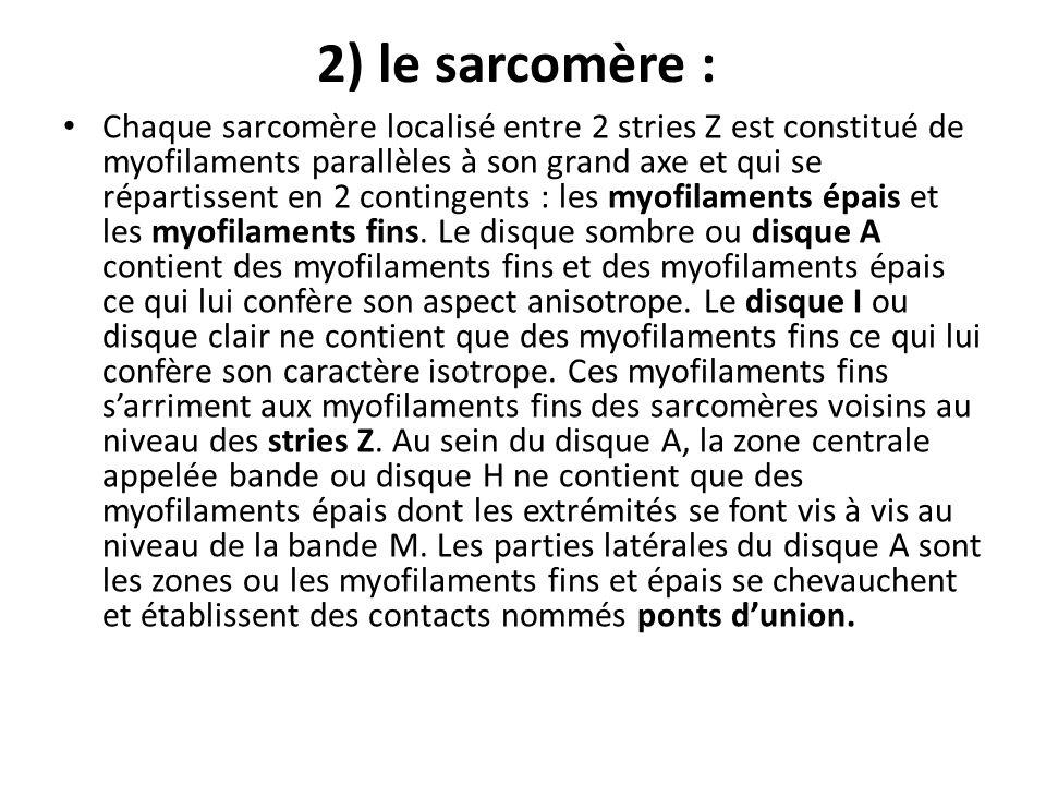 2) le sarcomère :