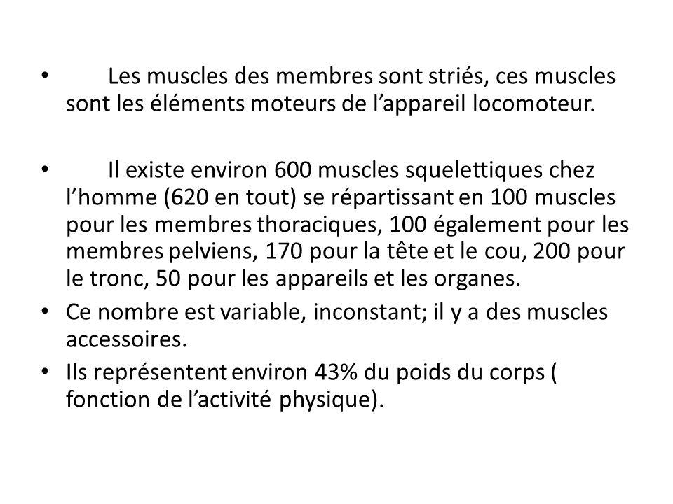 Les muscles des membres sont striés, ces muscles sont les éléments moteurs de l'appareil locomoteur.
