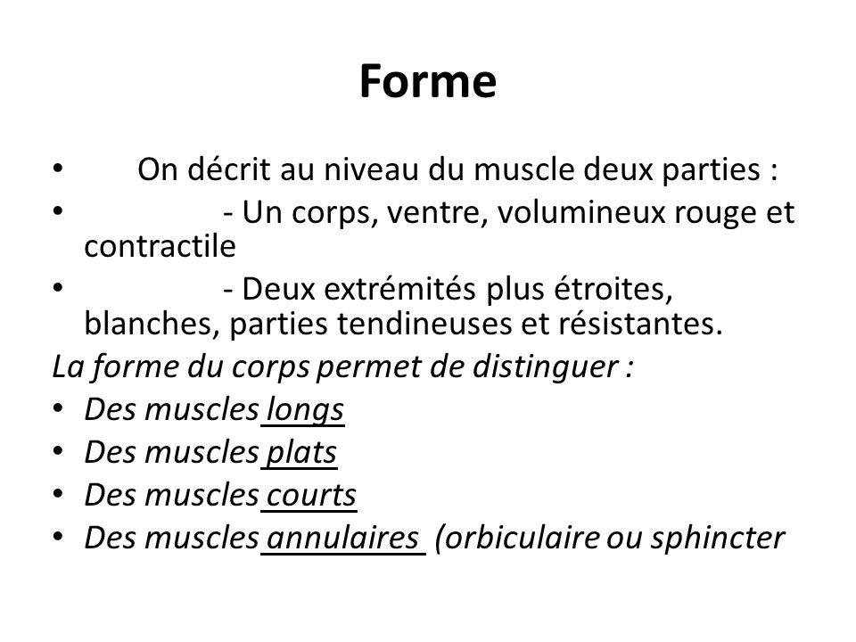 Forme On décrit au niveau du muscle deux parties :