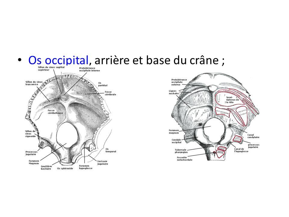 Os occipital, arrière et base du crâne ;