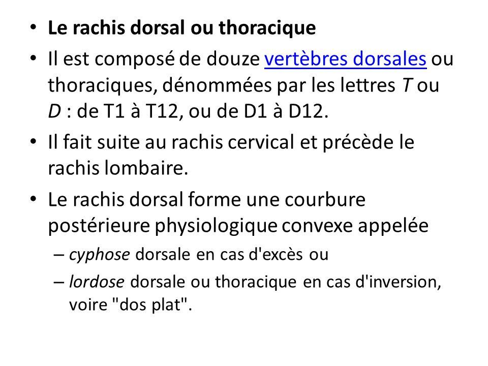 Le rachis dorsal ou thoracique