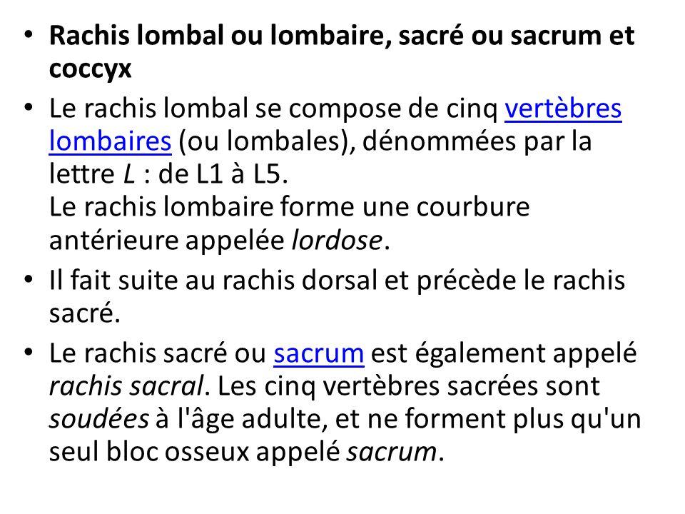 Rachis lombal ou lombaire, sacré ou sacrum et coccyx