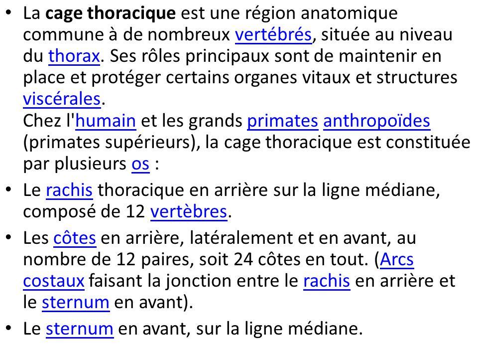 La cage thoracique est une région anatomique commune à de nombreux vertébrés, située au niveau du thorax. Ses rôles principaux sont de maintenir en place et protéger certains organes vitaux et structures viscérales. Chez l humain et les grands primates anthropoïdes (primates supérieurs), la cage thoracique est constituée par plusieurs os :