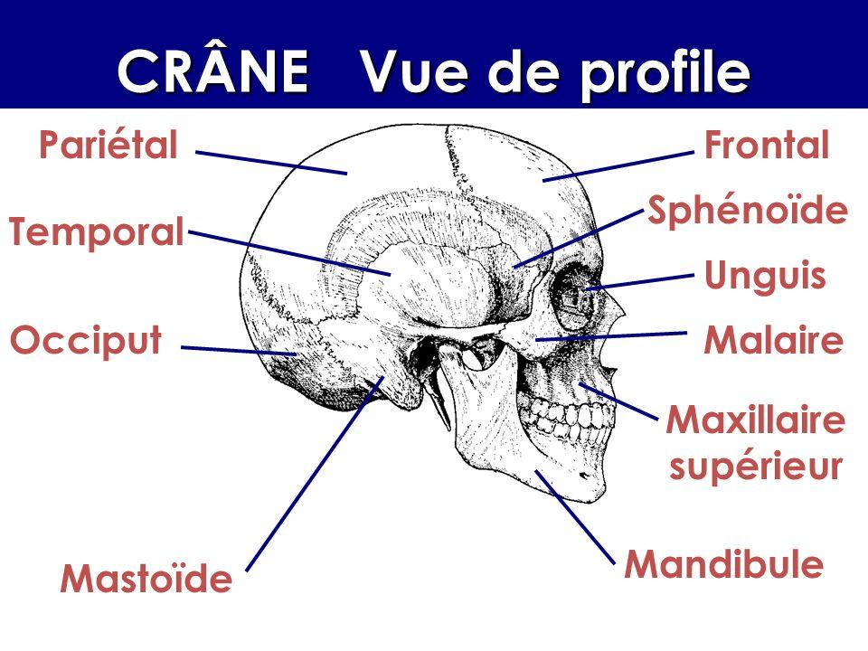 CRÂNE Vue de profile Pariétal Frontal Sphénoïde Temporal Unguis