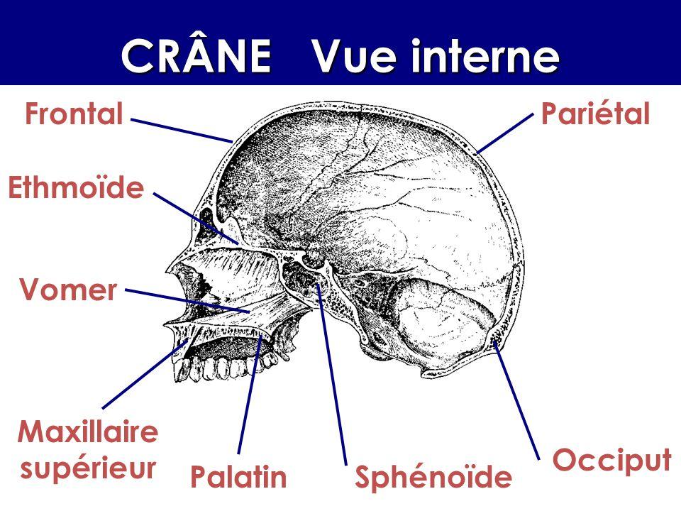 CRÂNE Vue interne Frontal Pariétal Ethmoïde Vomer Maxillaire supérieur