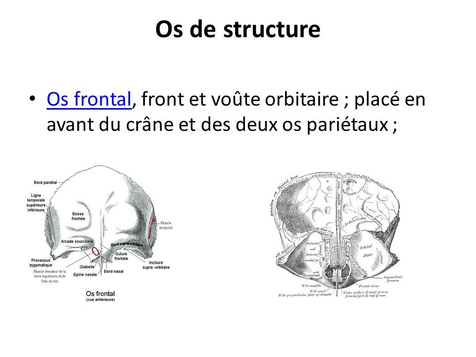 Os de structure Os frontal, front et voûte orbitaire ; placé en avant du crâne et des deux os pariétaux ;