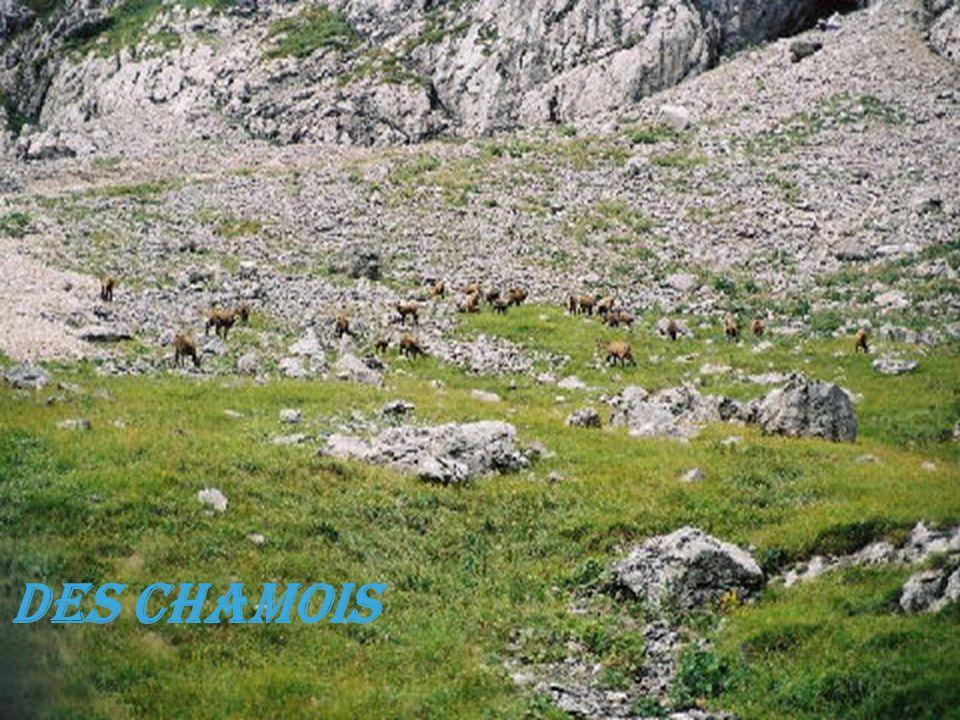Des Chamois
