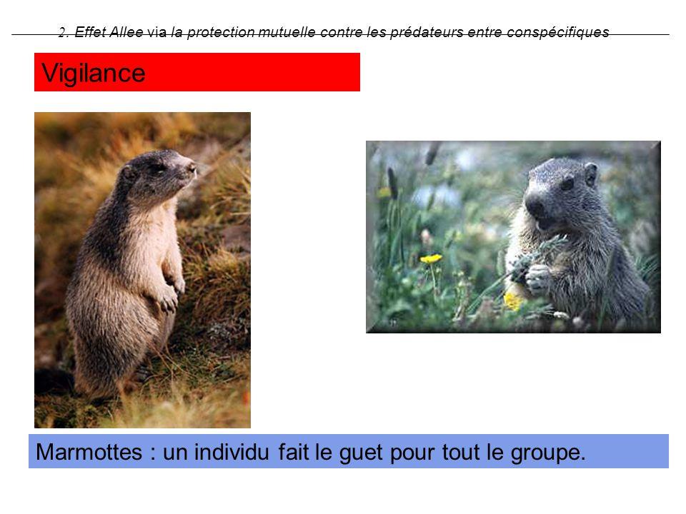 Vigilance Marmottes : un individu fait le guet pour tout le groupe.
