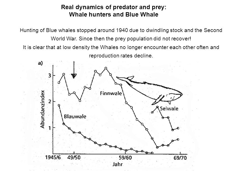 Real dynamics of predator and prey: Whale hunters and Blue Whale