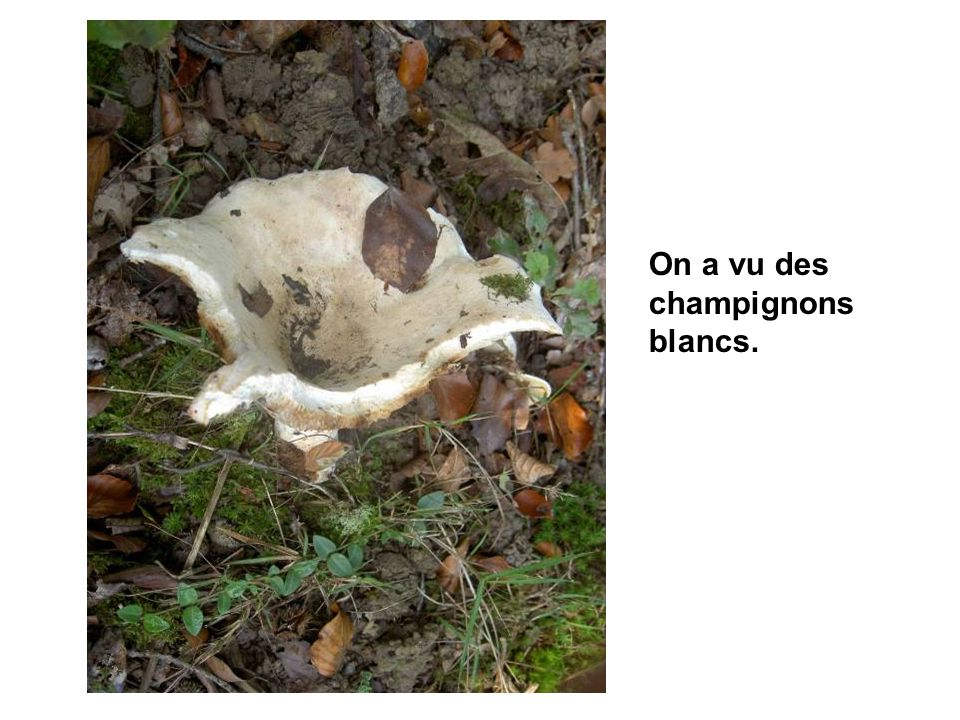 On a vu des champignons blancs.