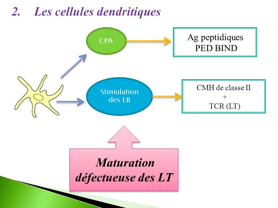 Les cellules dendritiques