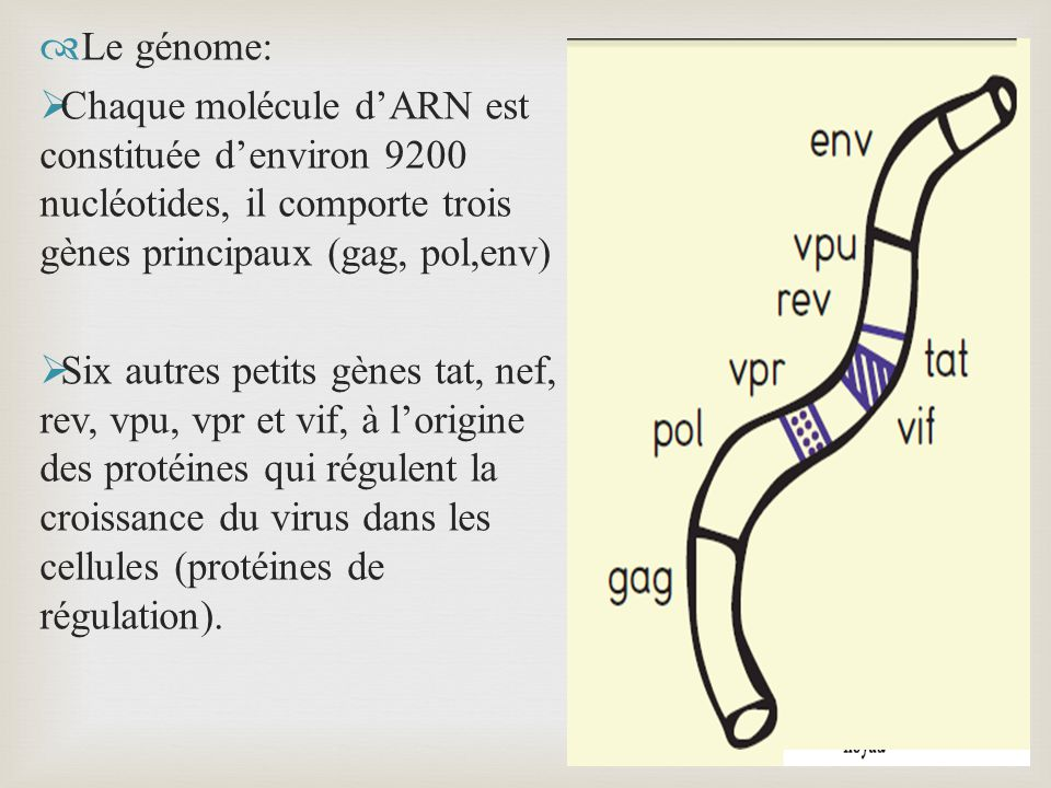 Le génome: Chaque molécule d'ARN est constituée d'environ 9200 nucléotides, il comporte trois gènes principaux (gag, pol,env)